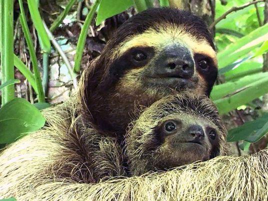 Filhote de preguiça volta a se encontrar com a mãe em vídeo emocionante