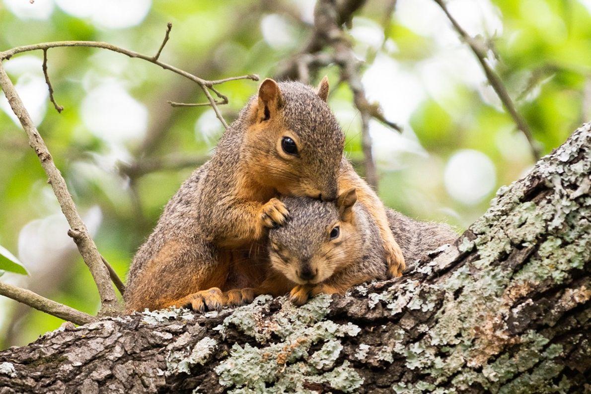 casal de esquilos