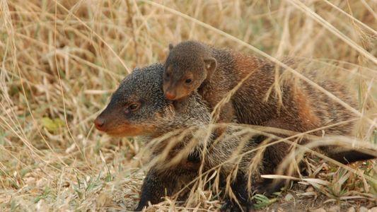 Por que os mangustos dão à luz todos no mesmo dia