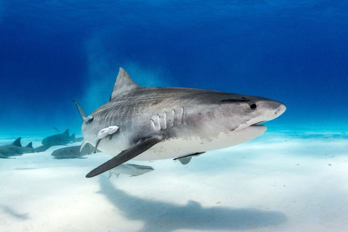 Tubarão-tigre em Bimini, nas Bahamas
