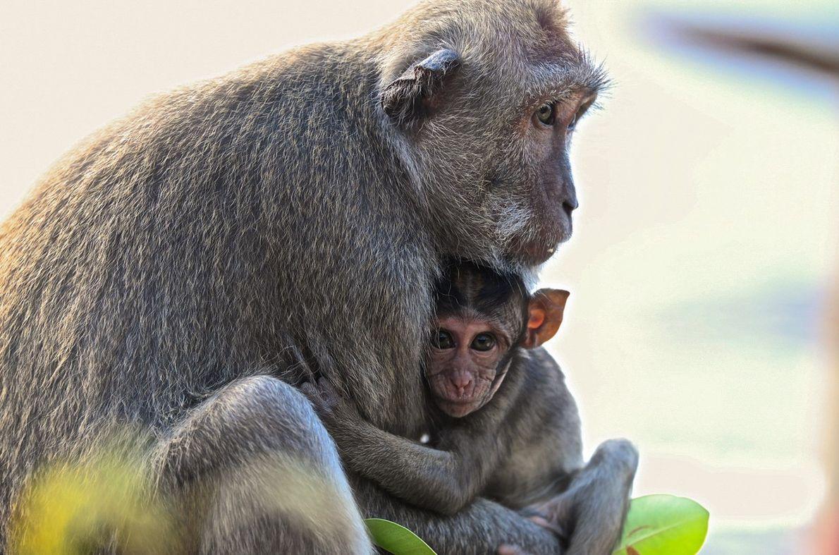 Mãe e filhote macaco em Uluwatu, na ilha de Bali, Indonésia.