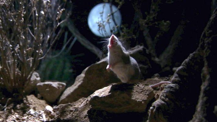 Este rato-gafanhoto caça escorpiões e uiva para a Lua