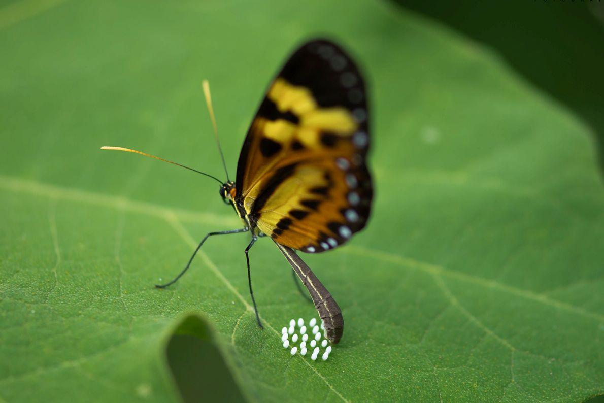 ovos de borboletaa