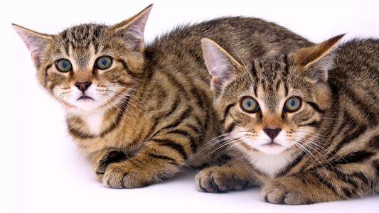 Estes gatos selvagens resgatados estão entre os últimos do seu tipo