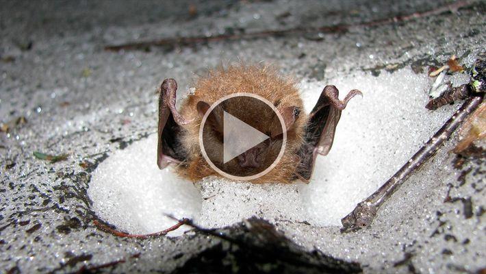 Vídeo raro mostra morcegos hibernando em buracos na neve
