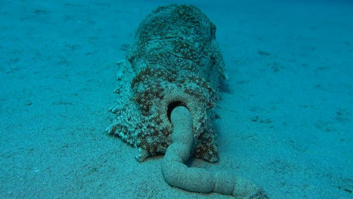 Fezes de pepinos do mar são fundamentais para ecossistemas marinhos