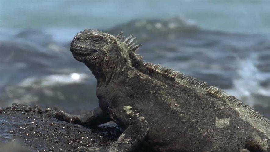 Conheça as iguanas-marinhas, os únicos lagartos dos mares