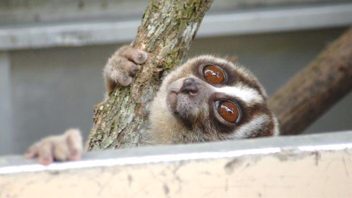 Primatas conhecidos como slow loris são devolvidos à natureza em Java