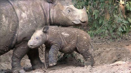 Rinocerontes-de-sumatra estão quase extintos, mas há um plano para salvá-los