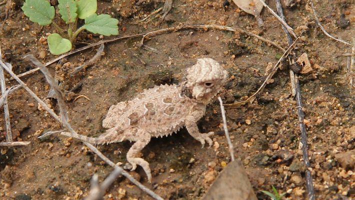 Veja bebês de lagartos 'chifrudos' serem soltos na natureza