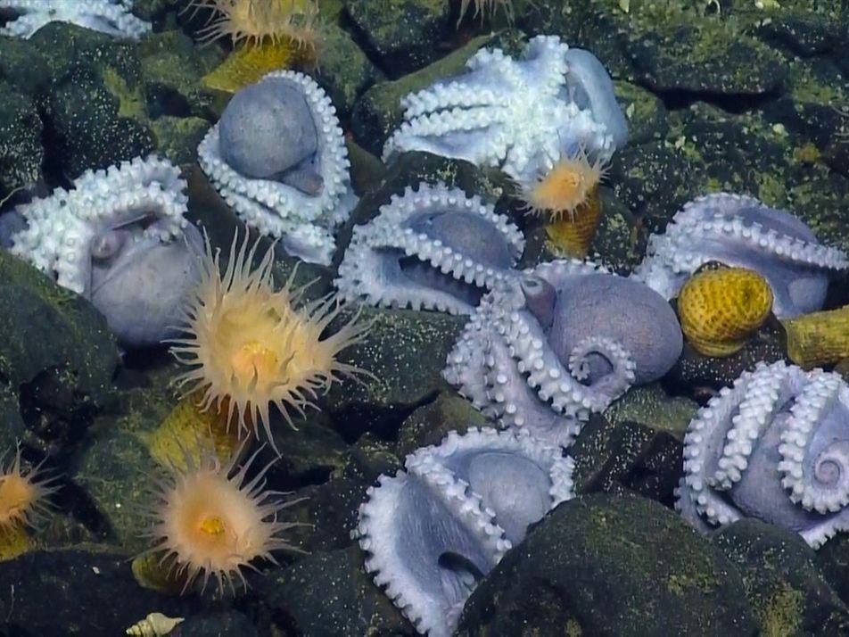 Assista a mil mamães polvo no maior berçário do oceano