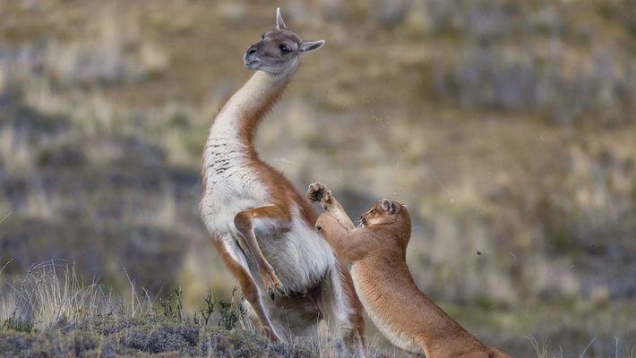 Assista a uma puma lutar contra um guanaco