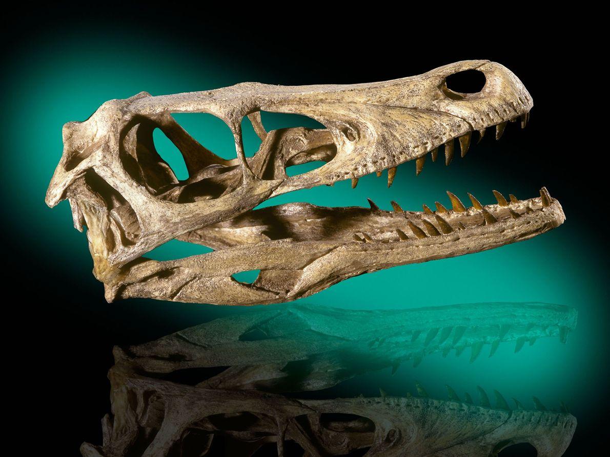 Este crânio do dinossauro Velociraptor mongoliensis vem das primeiras formações do Cretáceo no deserto de Gobi, ...