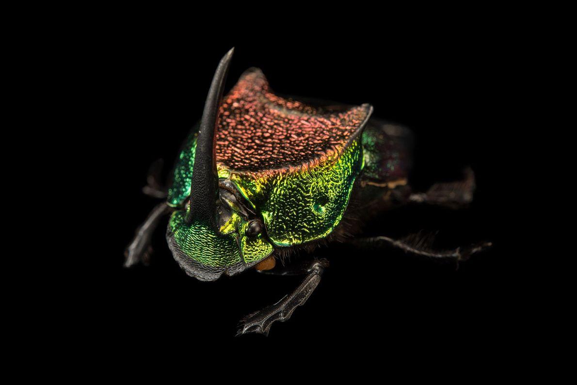 As cores metálicas e os grandes e desproporcionais chifres tornam os escaravelhos arco-íris fáceis de serem ...