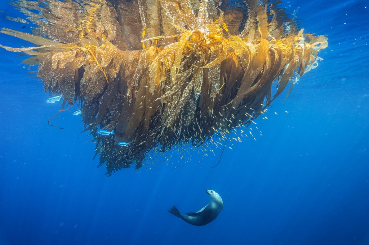 Leão-marinho-da-califórnia caça peixes em um amontoado de algas em Cortes Bank, em um monte submarino próximo ...