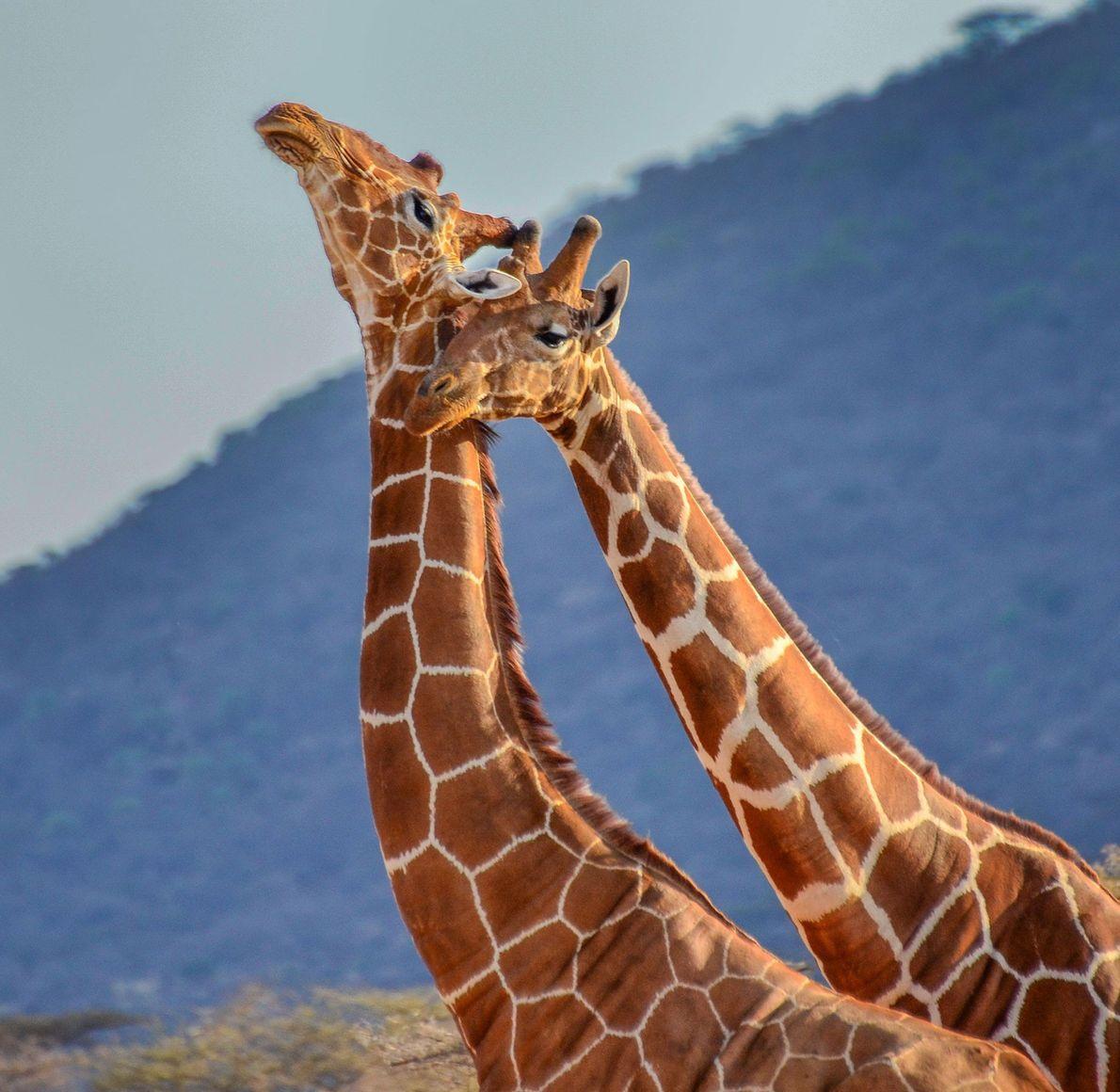 Giraffes. Maasai Mara, Kenya