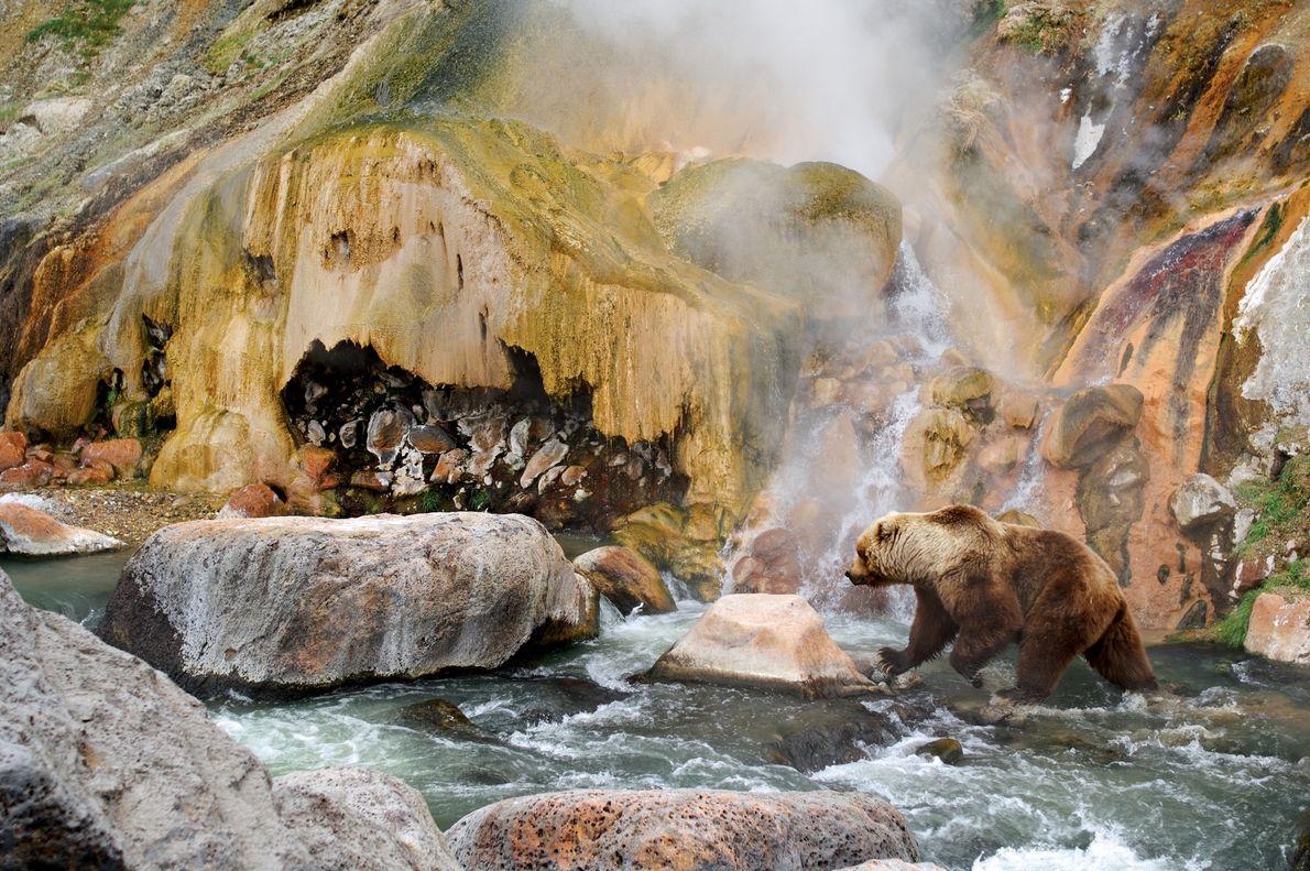 Península de Kamchatka, Rússia Um urso-pardo de Kamchatka procura salmão na Reserva Natural Kronotsky da península russa.  ...