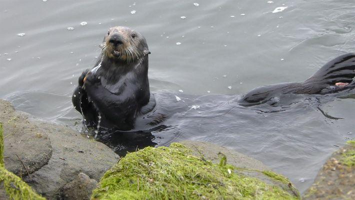 Lontras-marinhas abrem mexilhões com bigornas de pedra