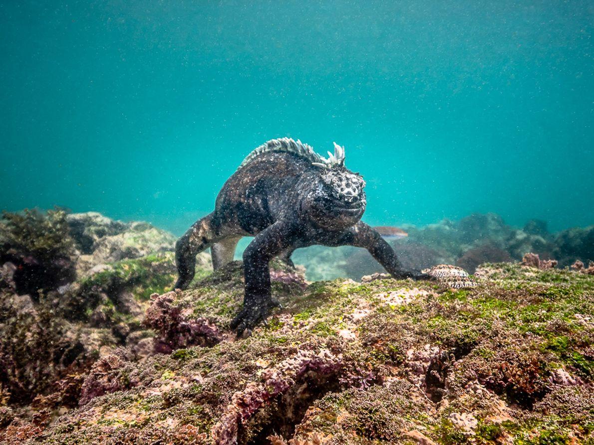 Iguana-marinha durante um mergulho para comer algas em Galápagos.