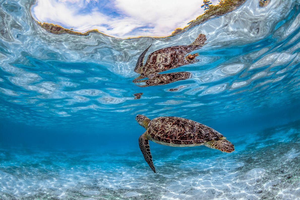 Tartaruga nada tranquilamente em um santuário protegido na Indonésia – a ilha de Misool, no estado ...