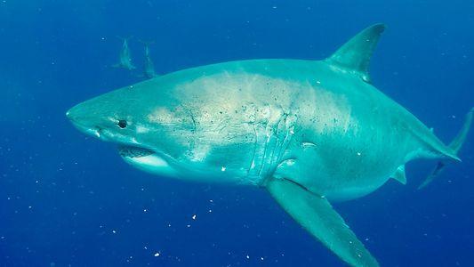 Enorme tubarão-branco fêmea impressiona pela barriga avantajada. Ela está grávida ou engoliu uma baleia?