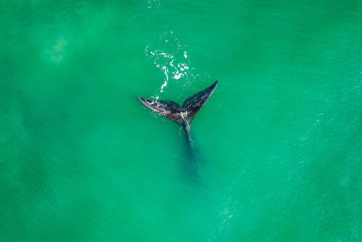 Cauda de uma baleia-franca próxima à praia da Ribanceira, em Imbituba (SC).