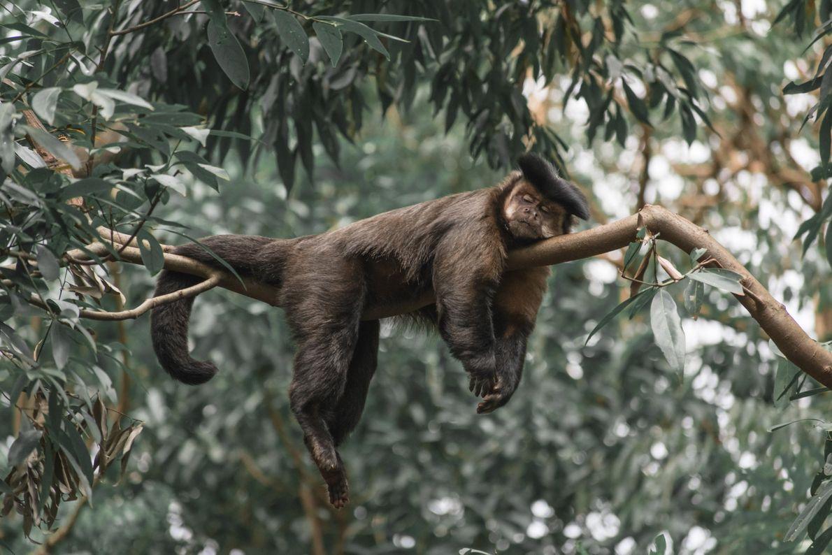 Macaco-prego tira um cochilo no Parque Ecológico de Ourinhos (SP).