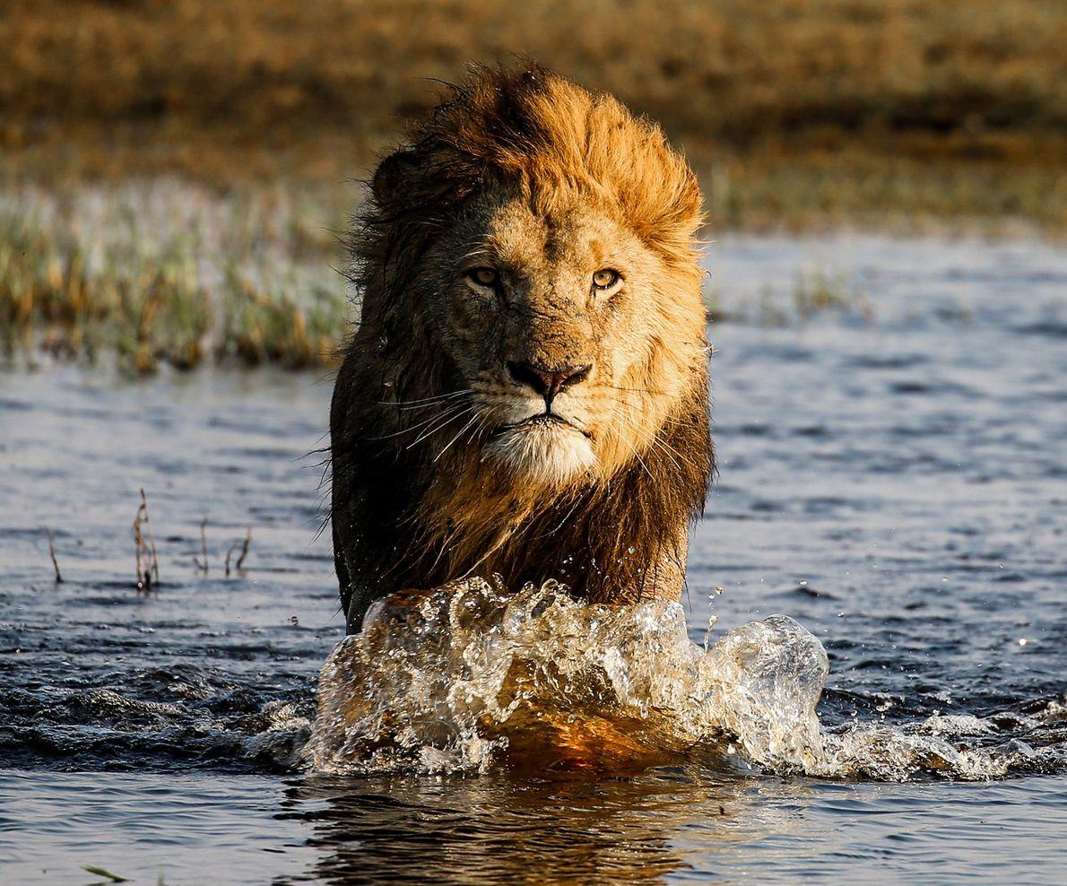 Leão atravessa rio no delta do Okavango, em Botsuana.