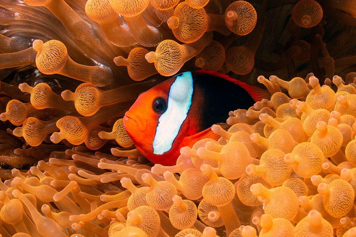 Peixe arisco