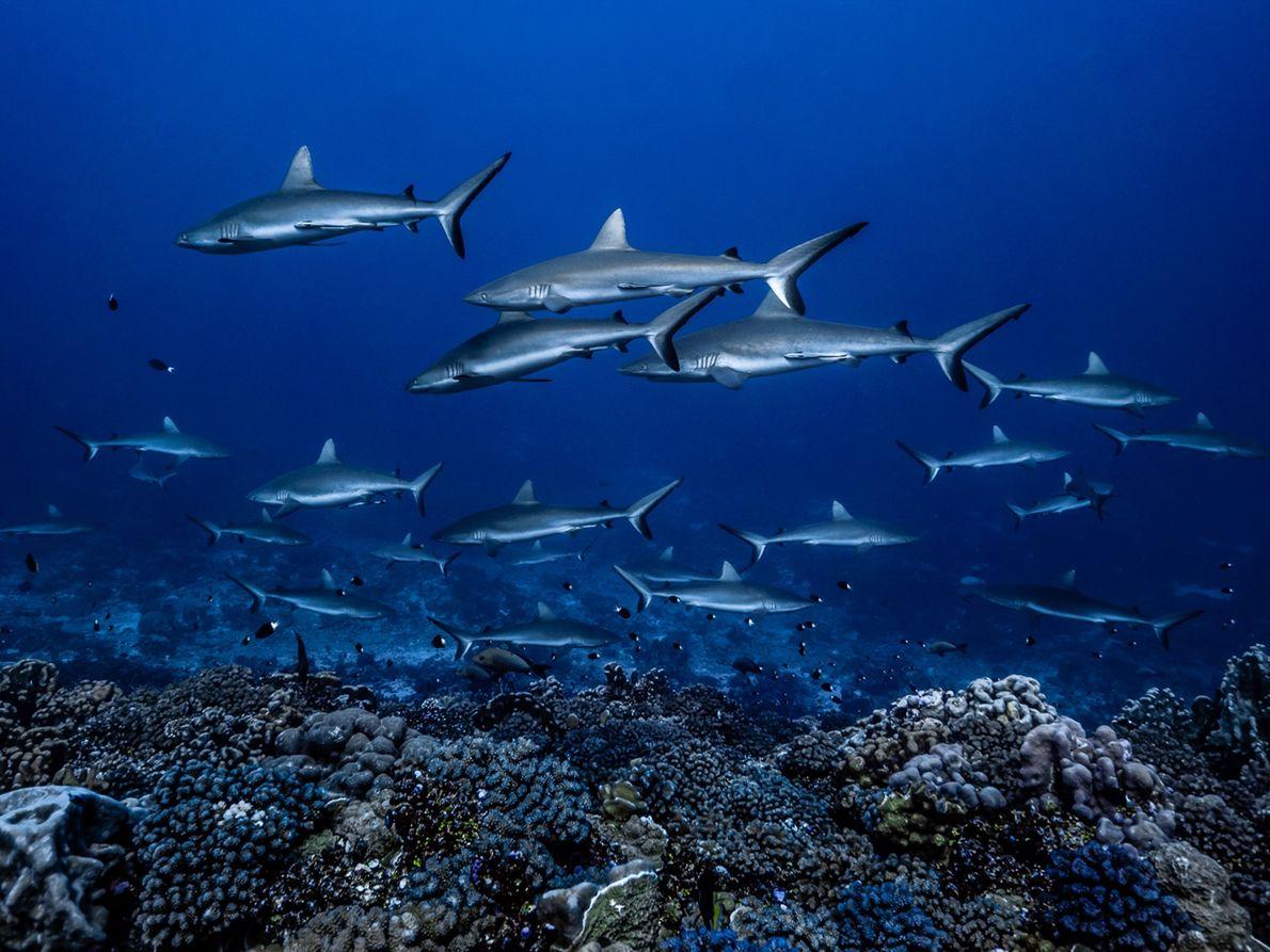 Desfile de tubarões