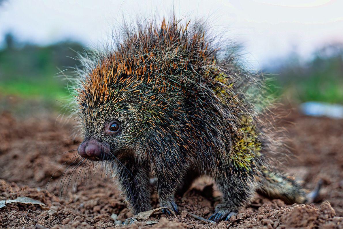 Ouriço-cacheiro flagrado no distrito de Salto, município de Campina do Monte Alegre (SP).