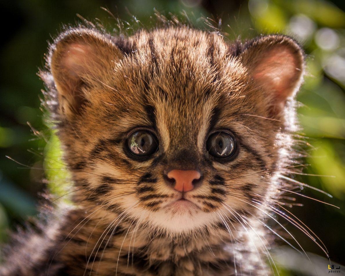 Filhote órfão de gato-do-mato-pequeno na Associação Mata Ciliar, em Jundiaí (SP).