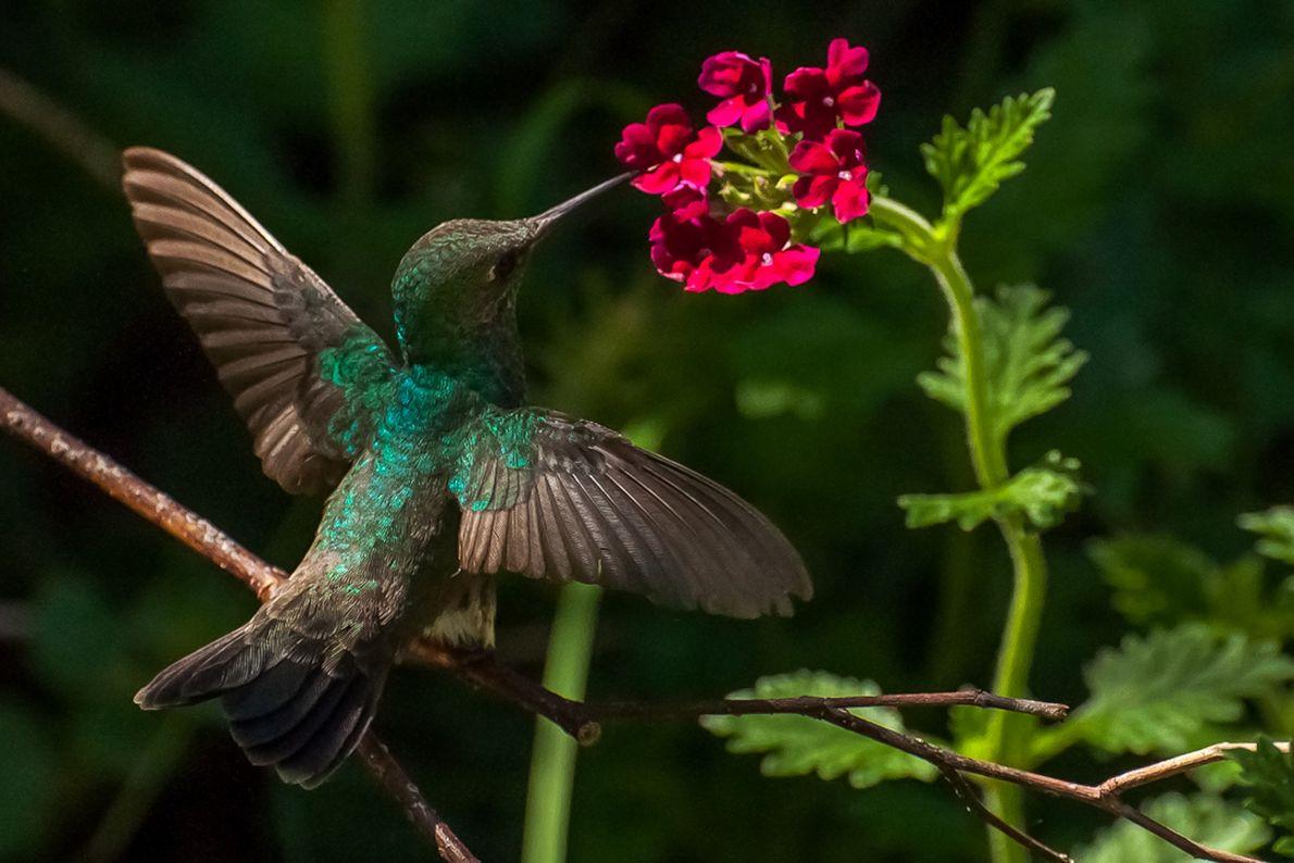 Beija-flor busca néctar em uma flor de verbena, em Gurupi (TO).