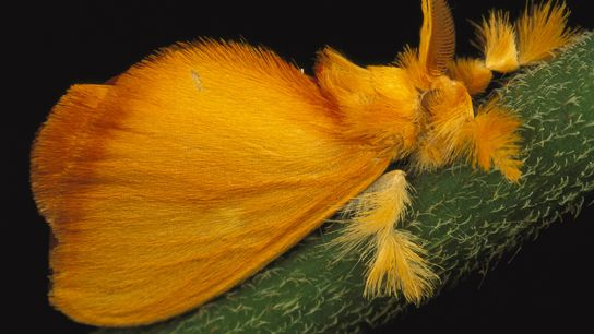 Esta mariposa-joia tropical, Acraga coa, é encontrada principalmente na América Central. As mariposas-joia passam por uma ...
