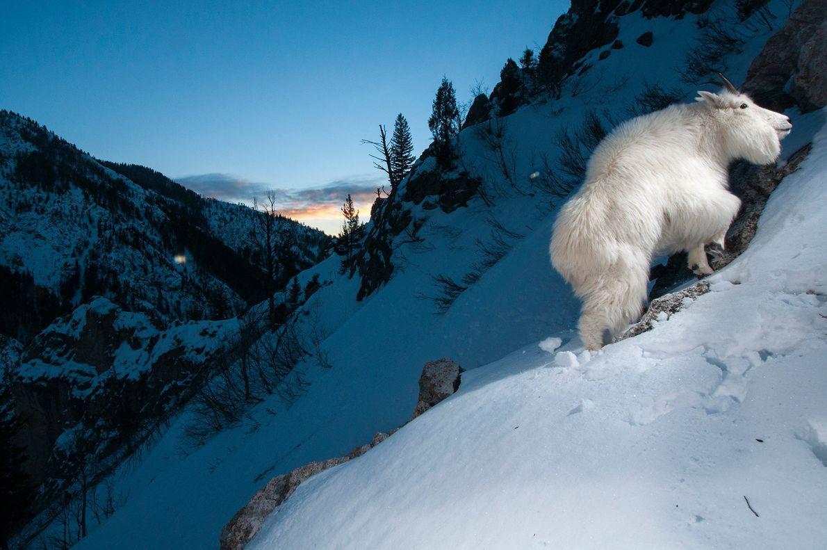 Uma cabra capturada por uma câmera remota escalando uma montanha nevada no Parque Nacional Yellowstone. Wyoming, ...