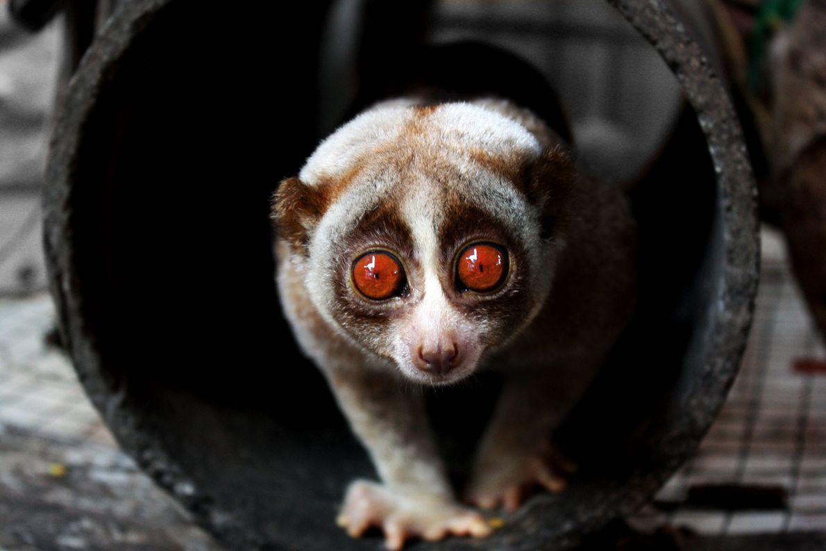 animais-mais-lentos-do-mundo-loris-lento