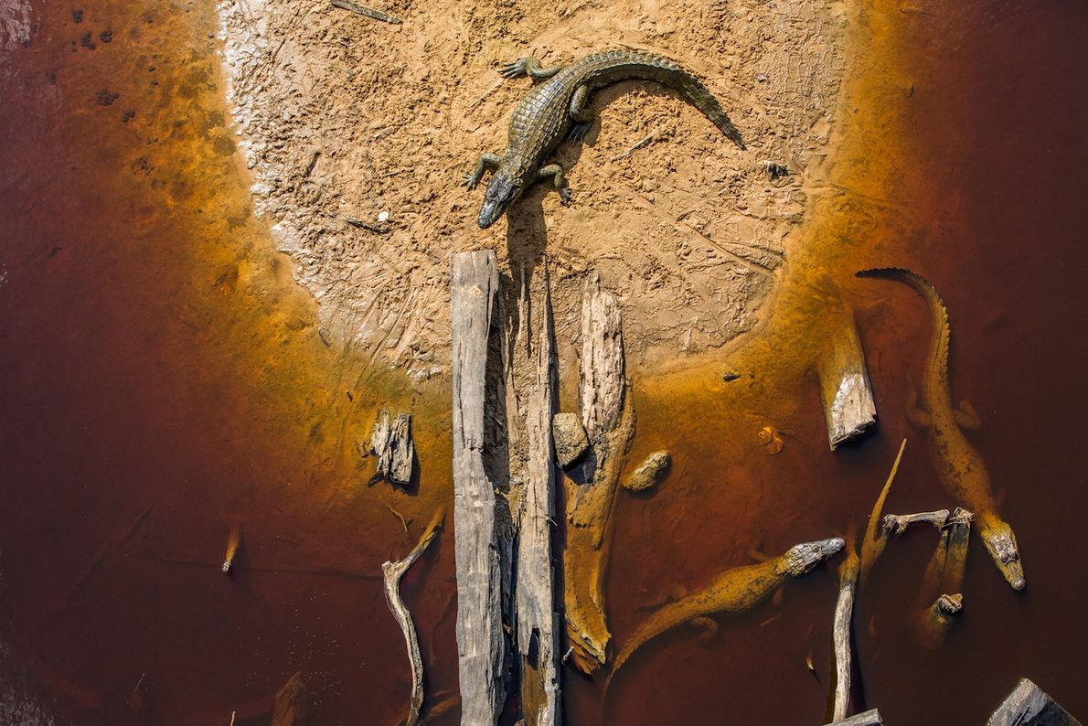 Jacarés pantanal
