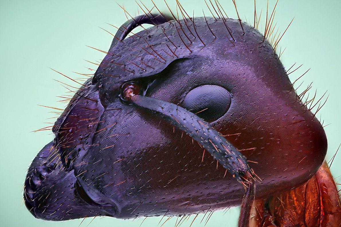 Cabeça, de menos de 1 cm, de uma formiga em Campinas, São Paulo.