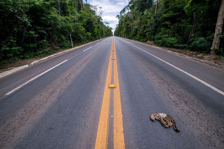 Gato-maracajá atropelado na BR-101, próximo à Reserva Biológica Sooretama, no Espírito Santo. O Núcleo de Ecologia …