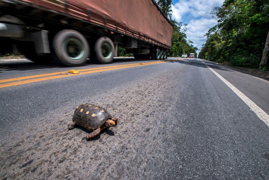 Jabuti-vermelho atravessa trecho da BR-101 no Espírito Santo. Os quelônios são particularmente afetados pela rodovias – …