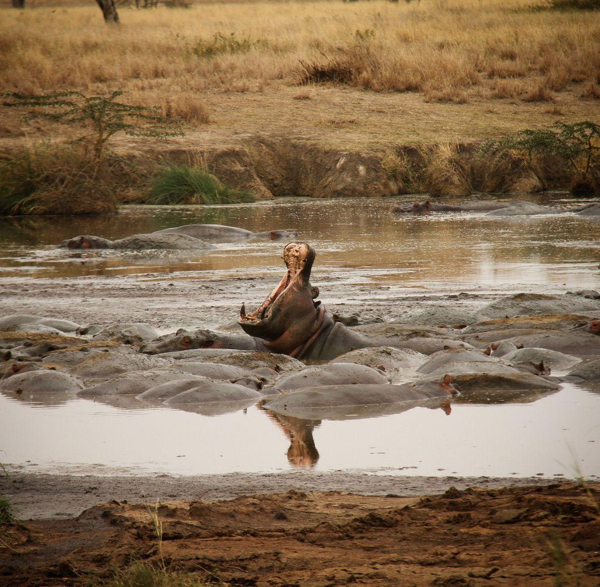 sua-foto-hipopotamo-serengeti