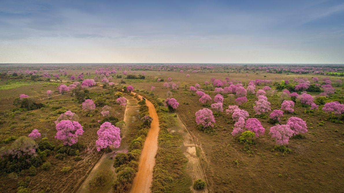 ipes-rosas-pantanal