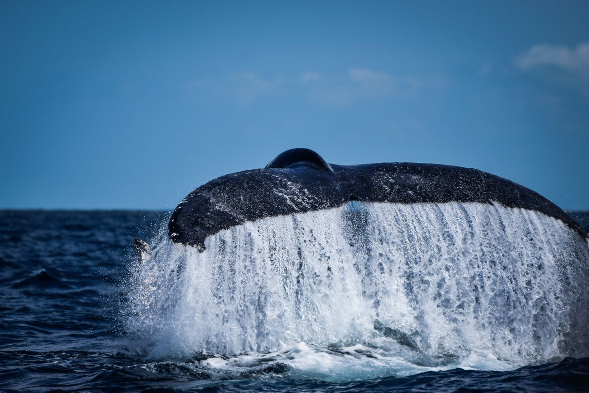Rabo da baleia jubarte