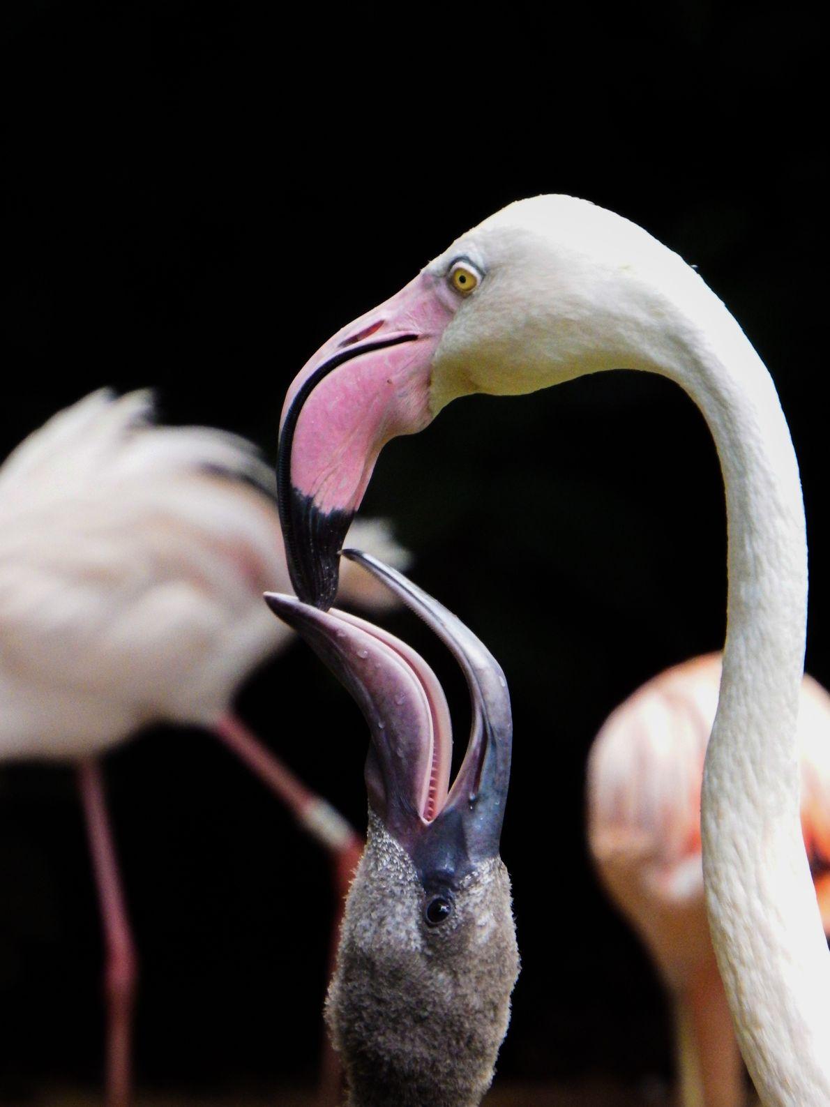 sua-foto-170911-flamingo
