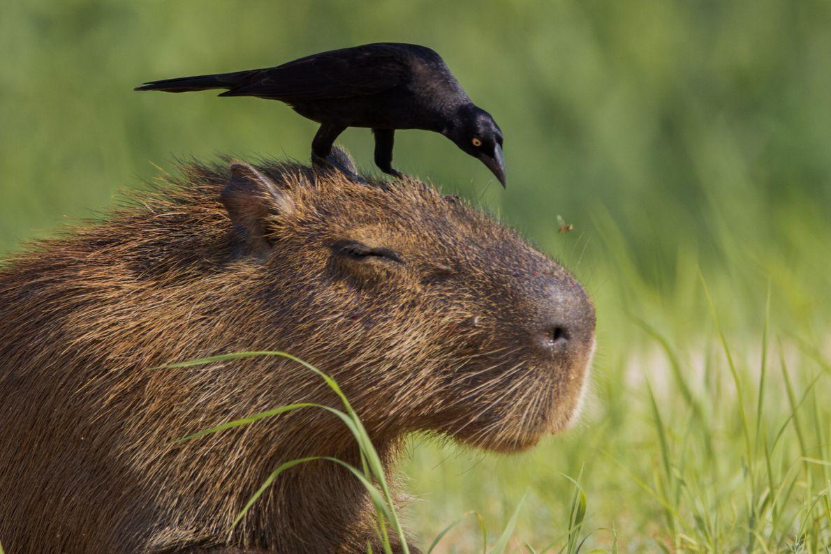 capivara-passarinho