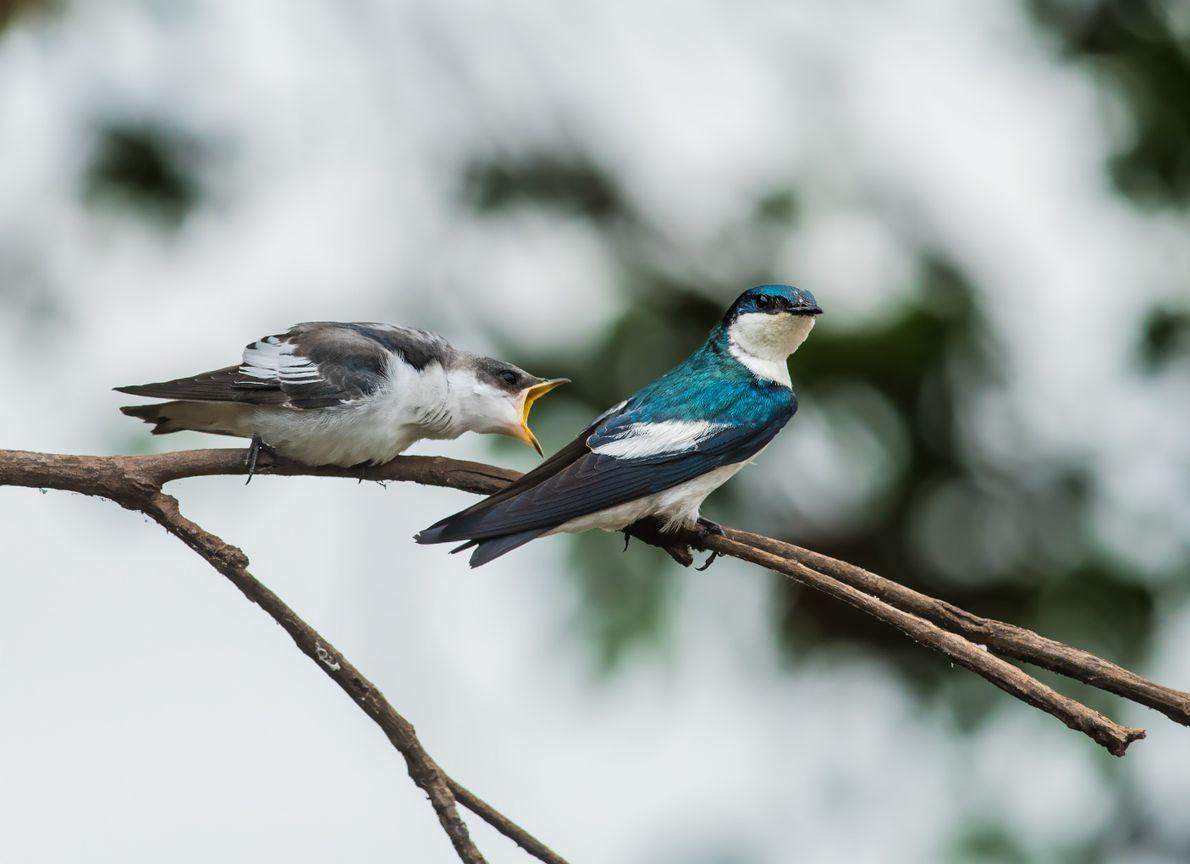 Briga de passarinhos