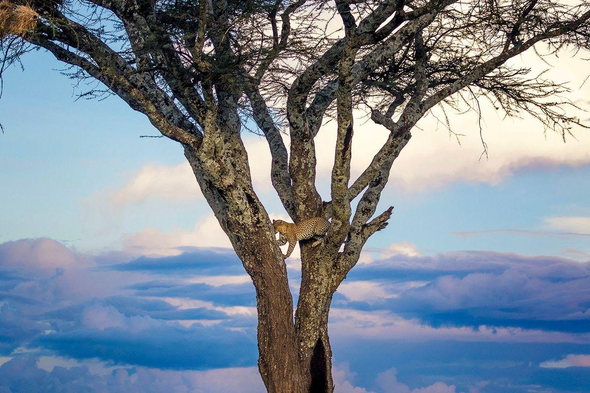 sua-foto-170922-leopardo
