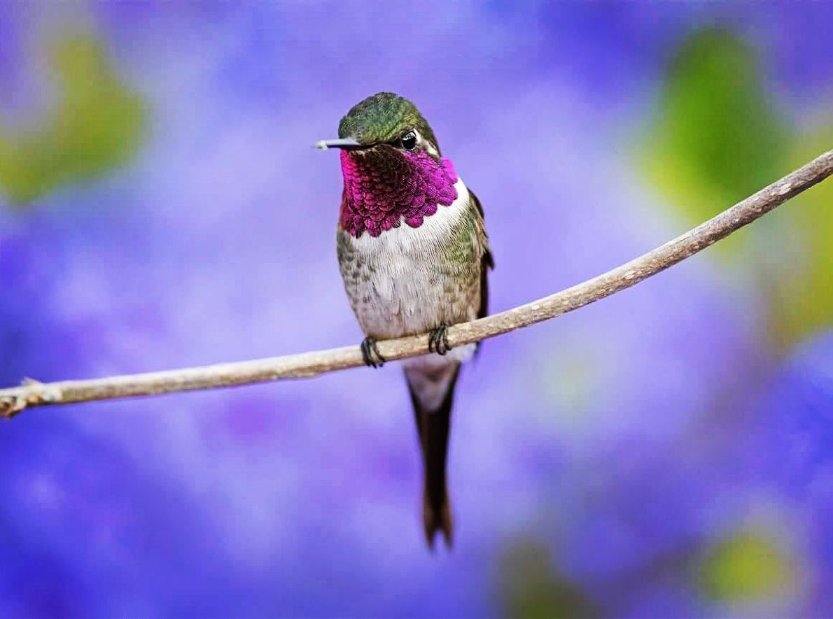 Beija-flor estrelinha