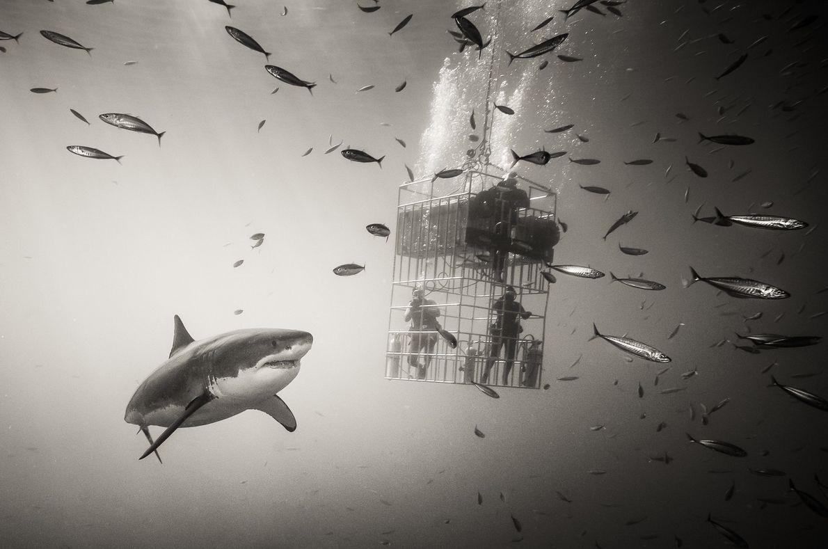 Tubarão-branco próximo à Ilha Guadalupe, no México.