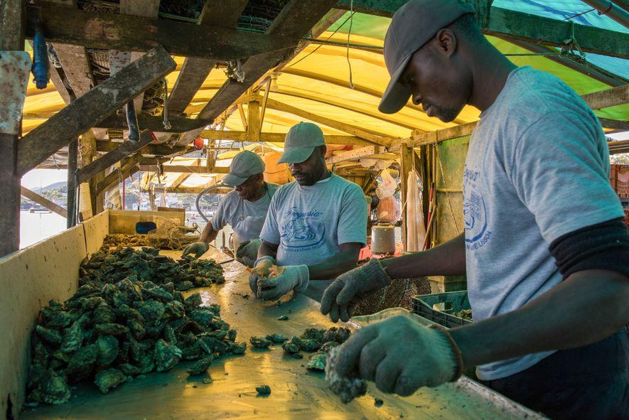Antes de serem despachadas em caixas de isopor com gelo, as ostras passam por um processo …